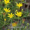 Pityopsis falcata, Sickle-leaved Golden-Aster; Ocean County, New Jersey  2012-08-17  #18