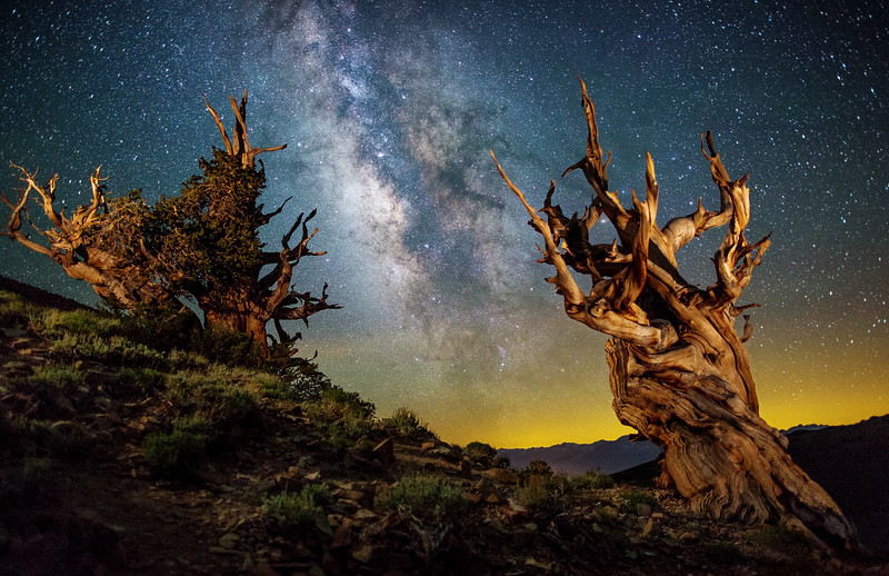 Ancient Bristlecone Pine Forest at Night