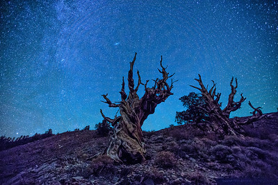 Bristlecone Pine and Andromeda Galaxy