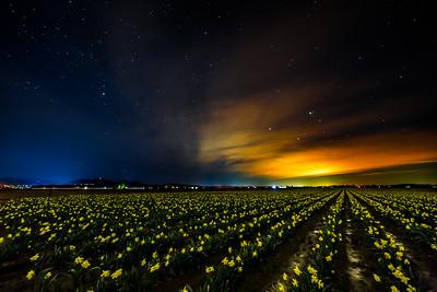 Mount Vernon Daffodil Starscape