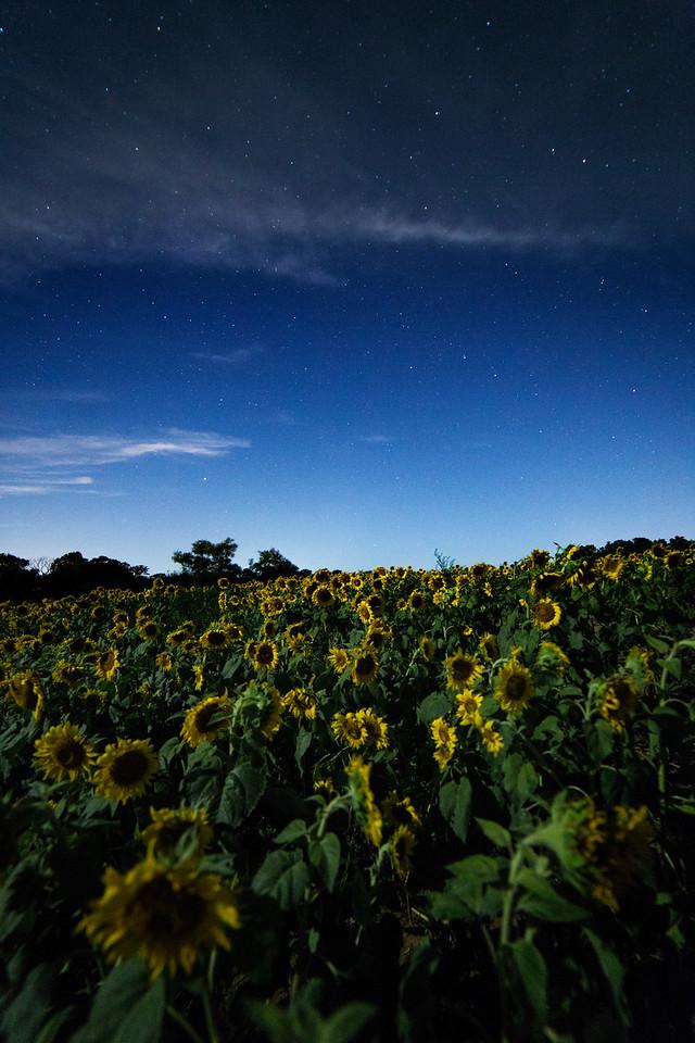 Sunflowers Under the Stars