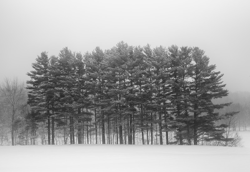 Tall Pines in the Snow