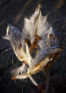 Milkweed at Dawn