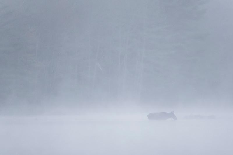 Moose In Mist