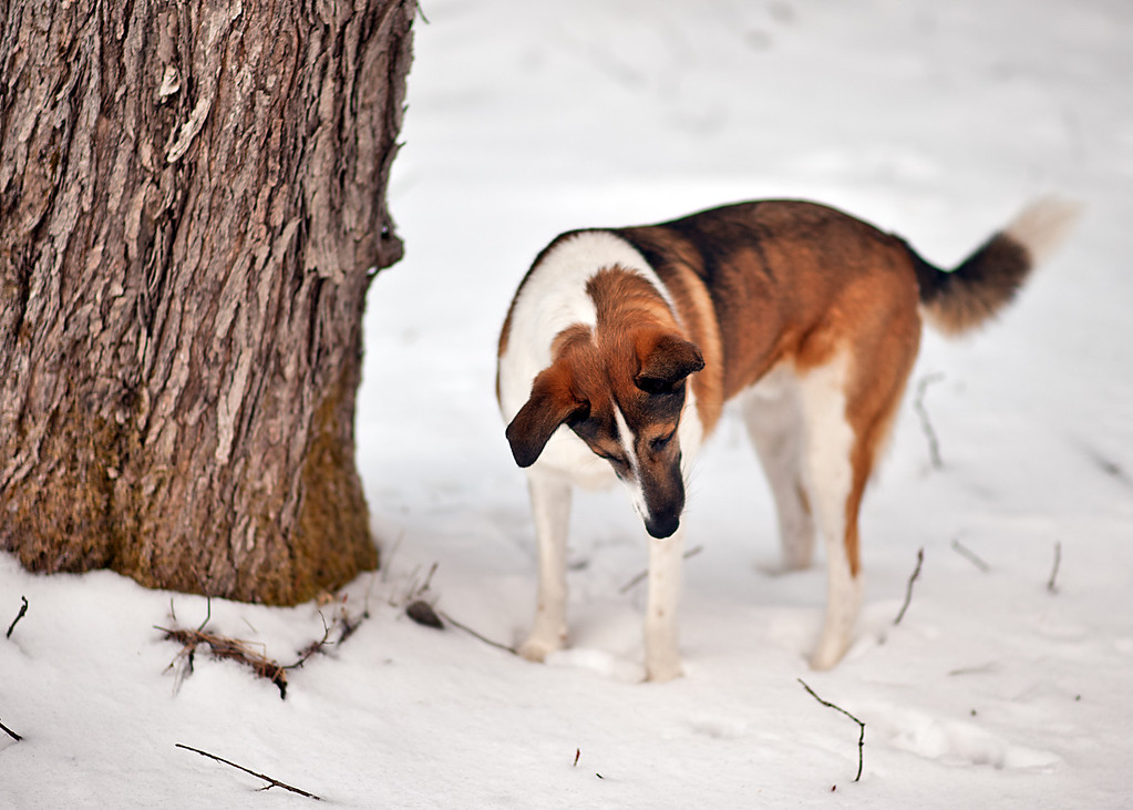 Friday, March 22, 2013<br /> <br /> Mole Hunter<br /> <br /> Baldr's sharp ears picked up a mole burrowing beneath the snow today. A few strokes of his paws uncovered the poor creature who, although unharmed, was not at all happy to be uncovered.