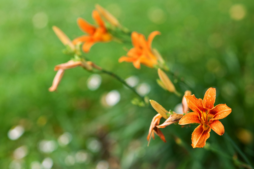 Tuesday, July 9, 2013<br /> <br /> Time of the Orange Lilies<br /> <br /> Orange lilies seem to be blooming in abundance this year.
