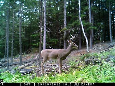 Resident Buck
