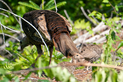 Turkeys in the brush