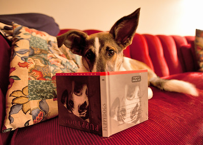 Tuesday, September 20, 2011  The Literate Canine  Baldr passes the evening engrossed in an improving book about upside down puppies.