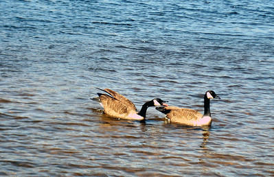 Canada geese -- fighting over a girl, I think.