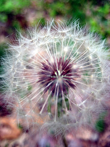 End of the dandelions