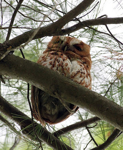Eastern screech owl...it appears to live in this tree