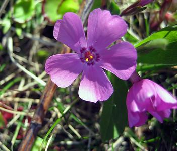 Moss Pink