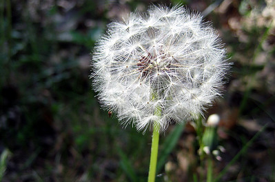 End of the dandelions...