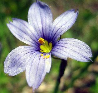 Pointed blue-eyed grass