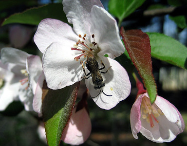 A bee on a crab apple flower