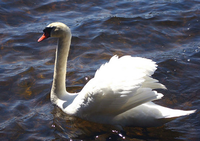 A swan out on the prowl...