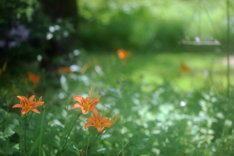 Orange Lily time