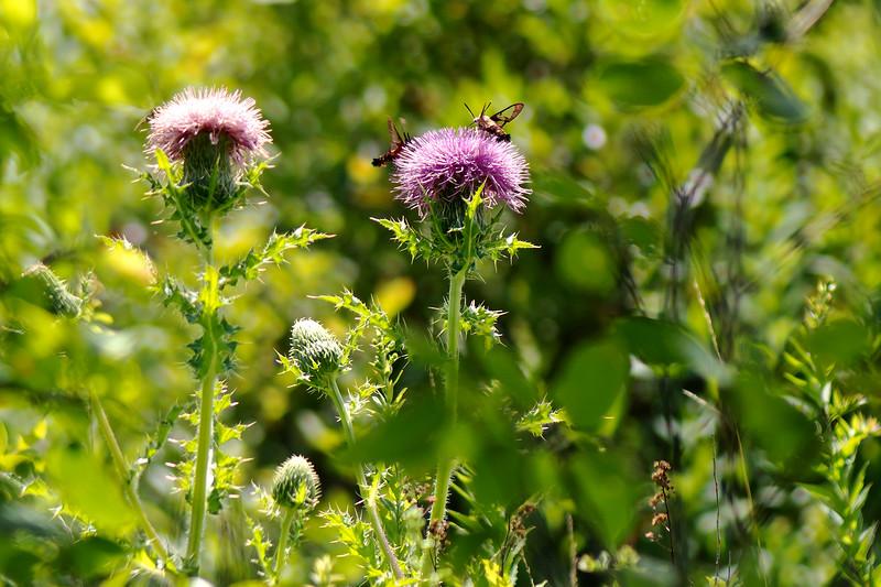 Moths & Thistle