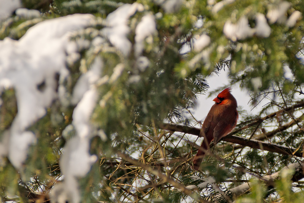 Cardinal In a Spruce Tree