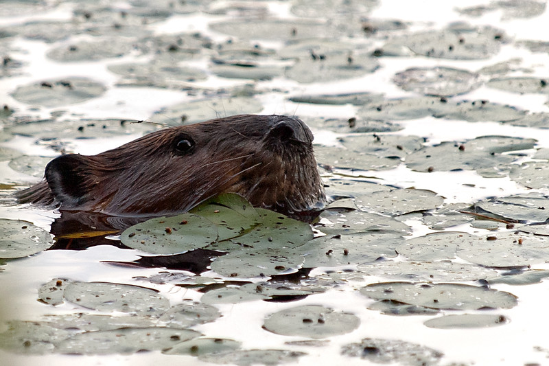 Nosey Beaver