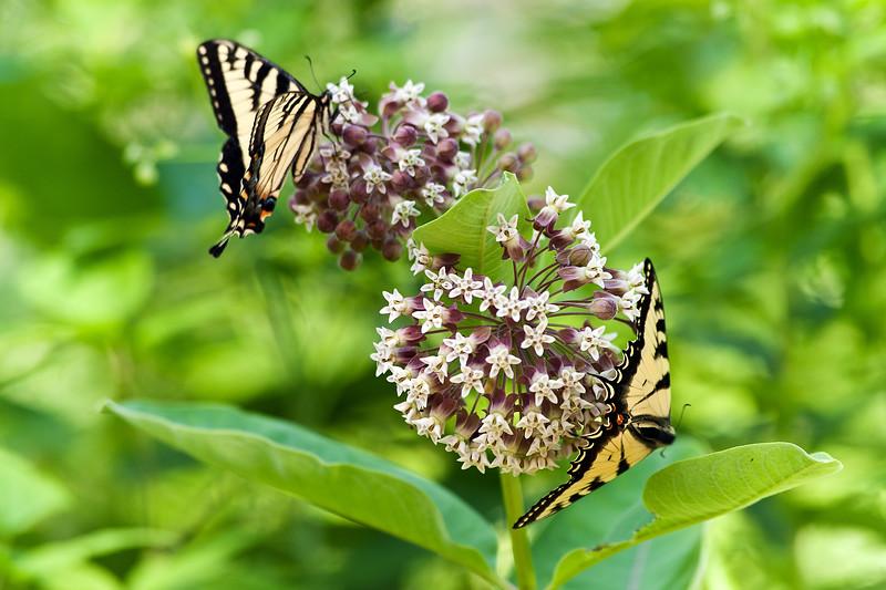 Swallowtail Time