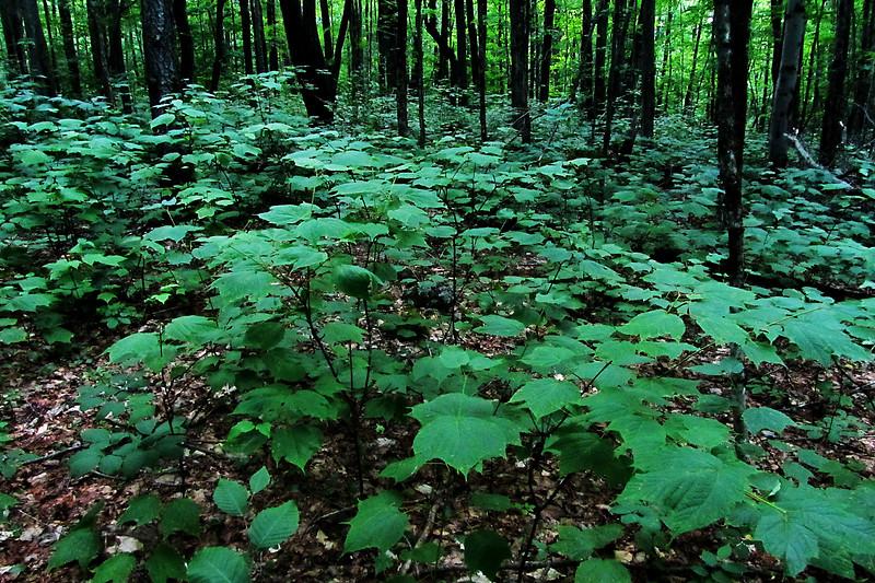 Viburnum Forest