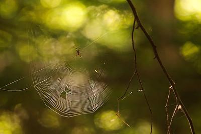 Resident Spider