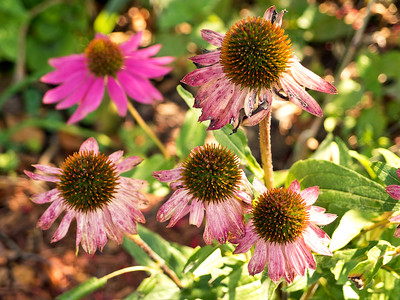Coneflower, In Color