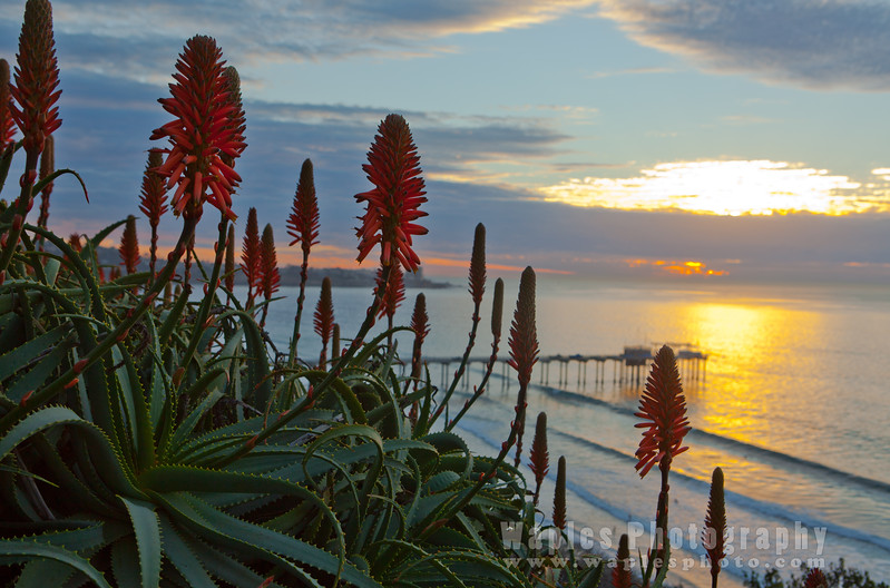 Sunset and Aloe
