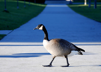 Canadian goose. Vancouver.