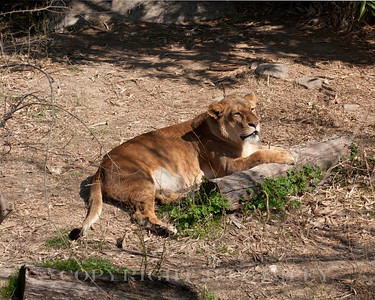 Lion relaxing in the sun.