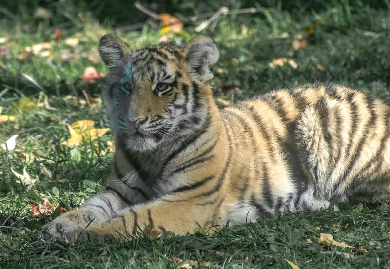 Just a Cub