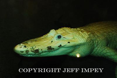 Close up of a smaller Albino Alligator