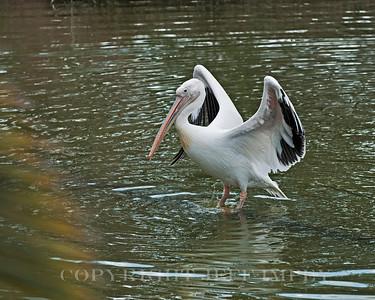 White Pelican strutting his stuff