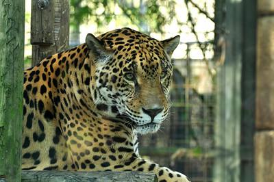 Leopard, face shot