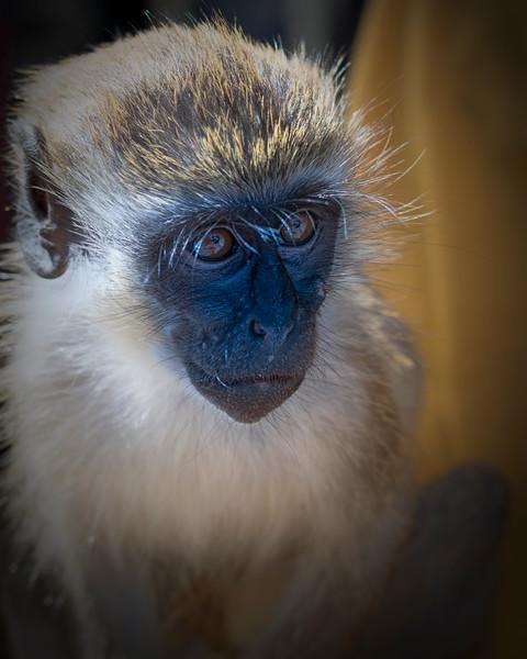 Green Monkey, St. Kitts