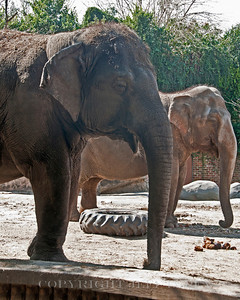 Elephants waiting for a handout.