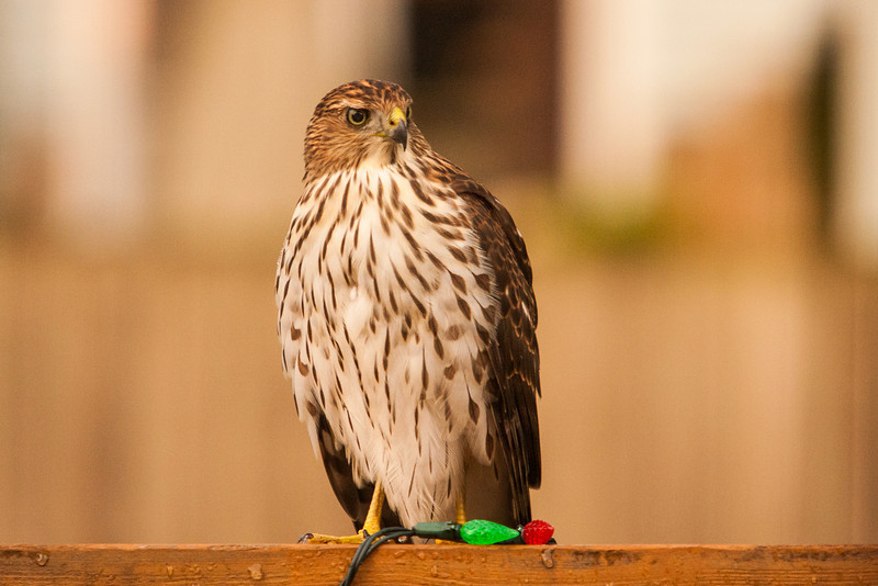 I looked out the patio door and saw this Coopers Hawk land on my deck railing. I grabbed my camera, the 70-200L and 1.4X and got this shot through patio door's glass.