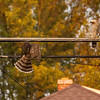 This hawk was flying back to the wires after swooping down to chase a squirrel.