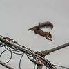 I finally got a shot of the squirrel the hawks were chasing. This shot was right after the squirrel chased the hawks off of the power line.