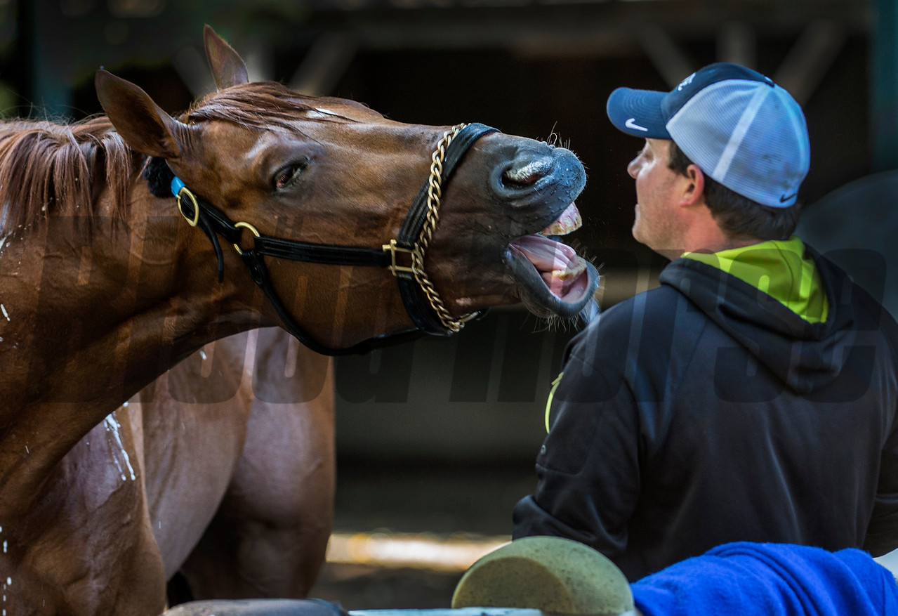Mind Your Biscuits seems to be having a serious discussion with his trainer Chad Summers in the barn area of the Saratoga Race Course Wednesday Aug. 23, 2017 in Saratoga Springs, N.Y.  (Skip Dickstein