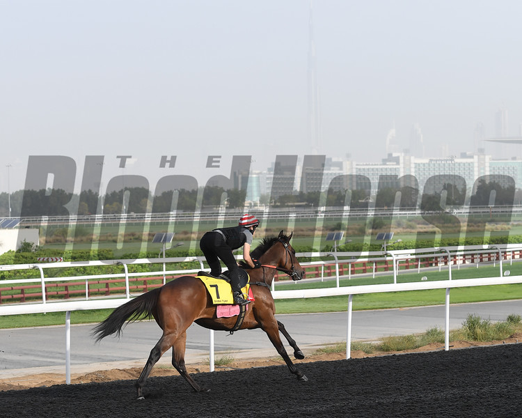 Dubai World Cup -Morning works 3/22/17, photo by Mathea Kelley/Dubai Racing Club<br /> Debt Collector, Dubai Turf
