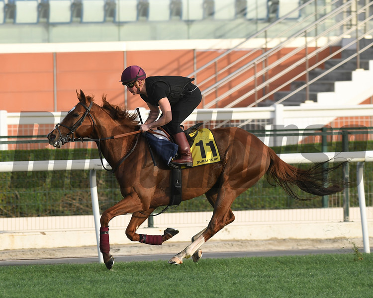 Dubai World Cup -Morning works 3/22/17, photo by Mathea Kelley/Dubai Racing Club<br /> Decorated Knight, Dubai Turf