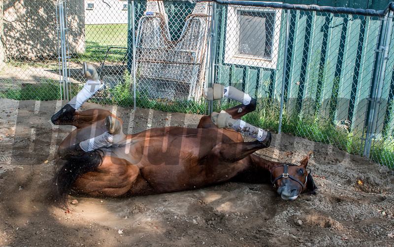 Travers entrant Giuseppe The Great gets a chance to be a horse while rolling around in the round pen at trainer Nick Zito's barn at the Oklahoma Training Center track Sunday Aug. 20, 2017 in Saratoga Springs, N.Y.  Photo: Skip Dickstein