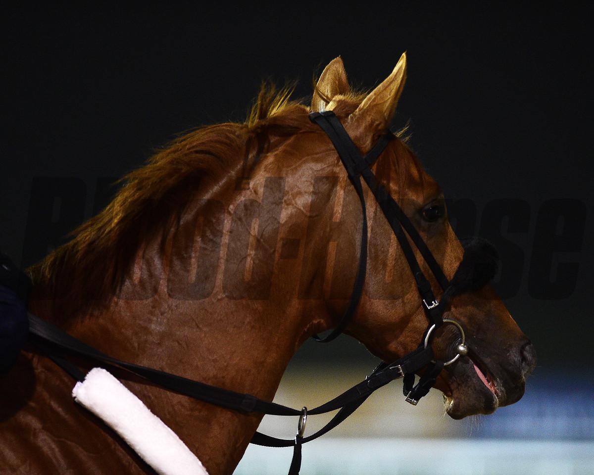 Dubai World Cup -Morning works 3/24/17, photo by Mathea Kelley/Dubai Racing Club<br /> Mind your Biscuits, Dubai Golden Shaheen