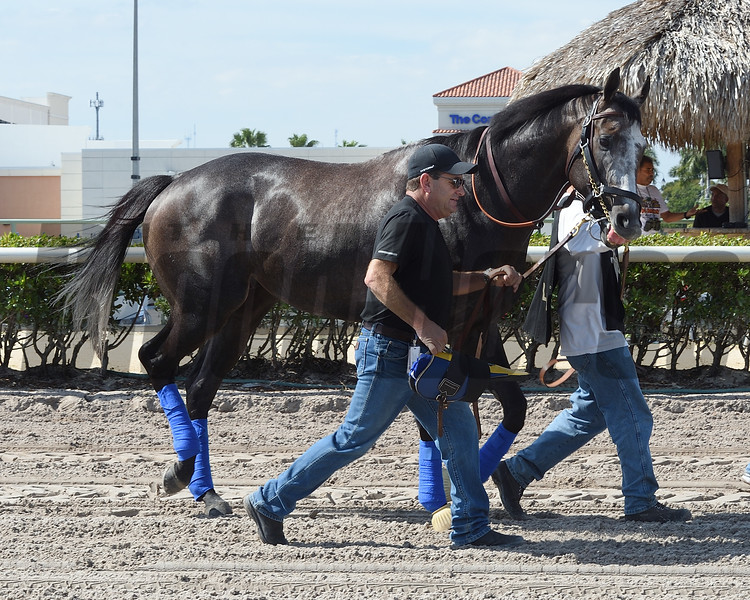 Arrogate - Gulfstream Park, January 26, 2017<br /> Coglianese Photos/Leslie Martin