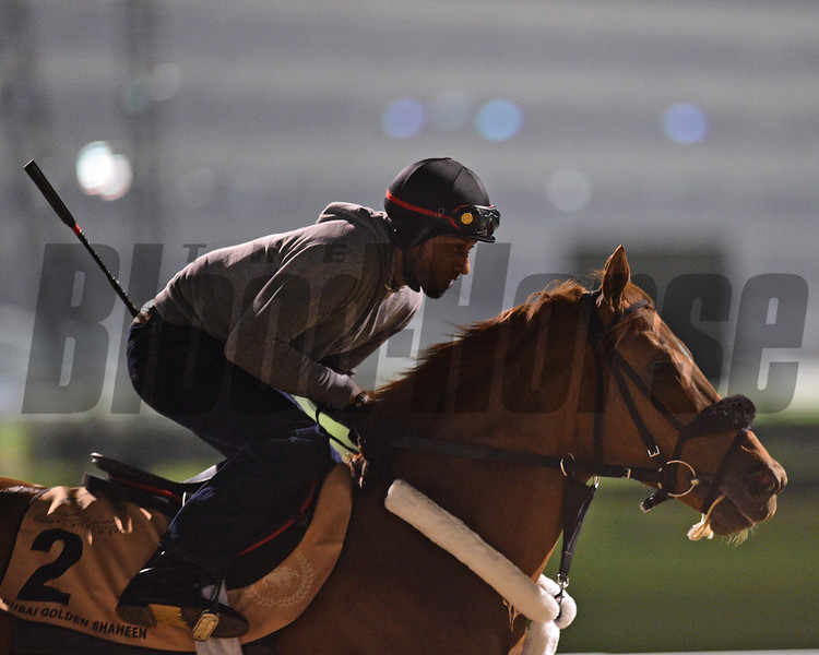 Dubai World Cup -Morning works 3/22/17, photo by Mathea Kelley/Dubai Racing Club<br /> Mindyourbiscuits, Dubai Golden Shaheen