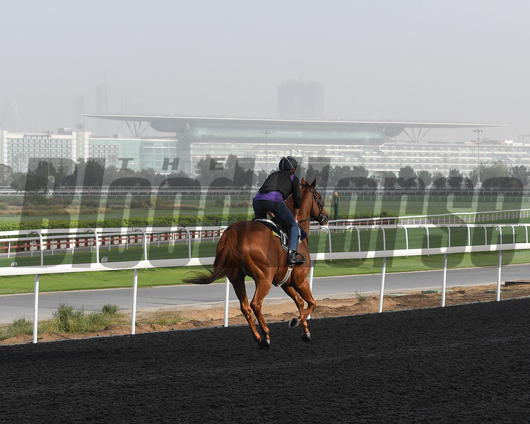 Dubai World Cup -Morning works 3/22/17, photo by Mathea Kelley/Dubai Racing Club<br /> Medicean Man, Al Quoz Sprint