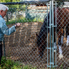 Travers entrant Giuseppe The Great gets a chance to be a horse while enjoying his playtime in the round pen while trainer Nick Zito keeps a close eye on him in the barn area at the Oklahoma Training Center track Sunday Aug. 20, 2017 in Saratoga Springs, N.Y.  Photo: Skip Dickstein